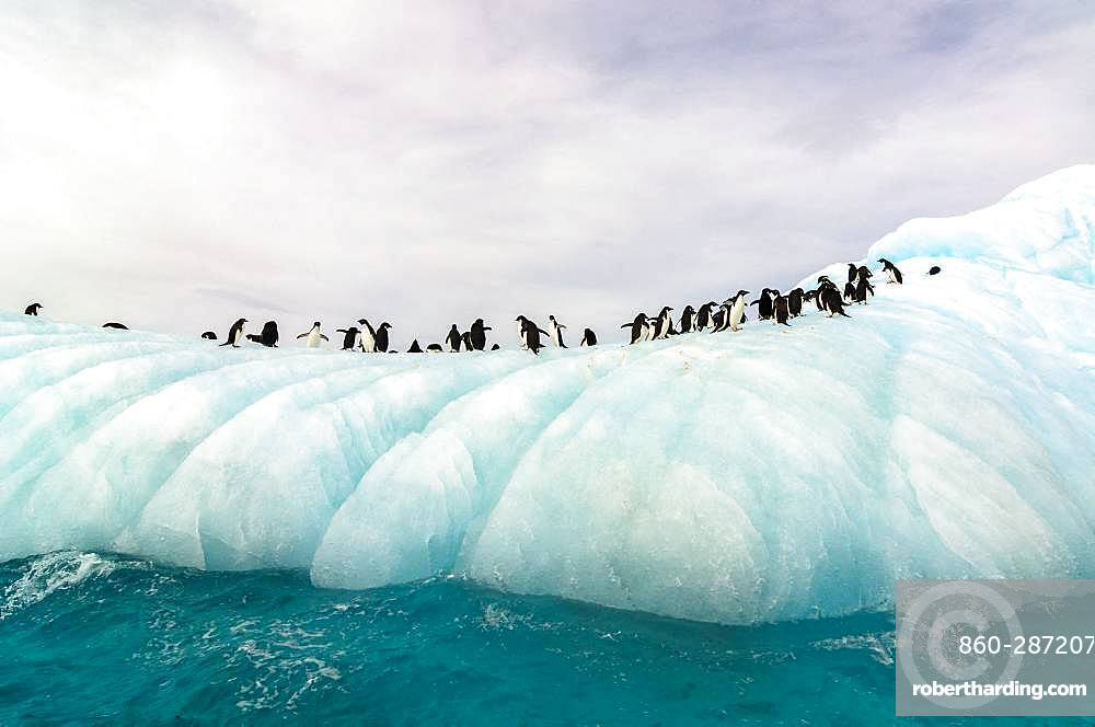 Adelie Penguin (Pygoscelis adeliae) group on iceberg in Weddell Sea, Antarctica