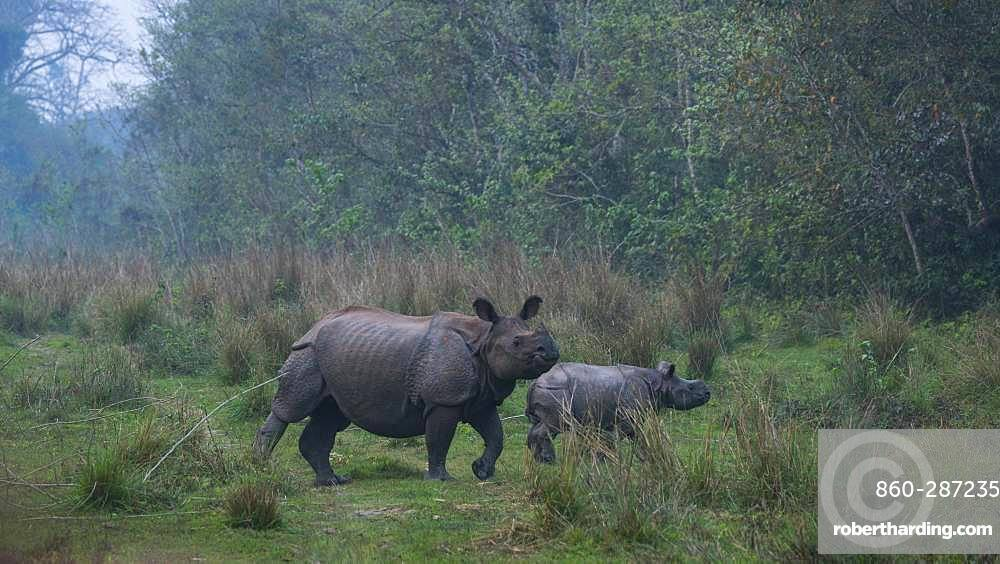 One-horned Asian rhinoceros (Rhinoceros unicornis) and young, Chitwan National Park, Inner Terai lowlands, Nepal, Asia, Unesco World Heritage Site