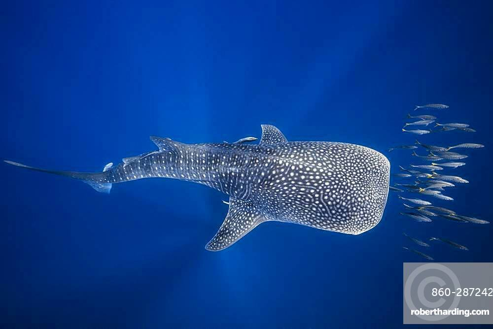 Whale shark (Rhincodon typus) swimming with a school of bonito, Nosy Be, Madagascar