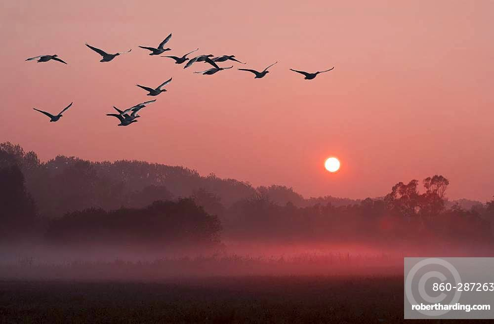 Greylag Geese (Anser anser) in flight, Nature Reserve of the Sauer Delta, Rhine River, Munchhausen, Alsace, France