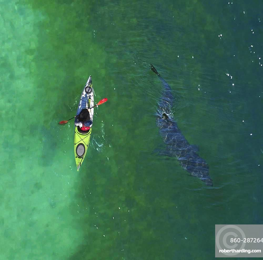 Aerial view of Basking shark, Cetorhinus maximus, and kayak. is the second-largest living shark, after the whale shark, and one of three plankton-eating shark species, along with the whale shark. Adults typically reach 6?8 m (20?26 ft) in length. The gill rakers, dark and bristle-like, are used to catch plankton as water filters through the mouth and over the gills. Despite their large size and threatening appearance, basking sharks are not aggressive and are harmless to humans. The basking shark has long been a commercially important fish, as a source of food, shark fin, animal feed, and shark liver oil. Overexploitation has reduced its populations to the point where some have disappeared and others need protection England