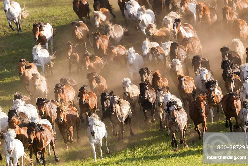 Horses running in a group in the meadow, Bashang Grassland, Zhangjiakou, Hebei Province, Inner Mongolia, China