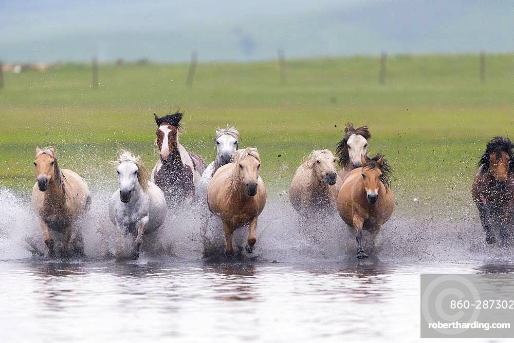 Horses running in a group in the water, Bashang Grassland, Zhangjiakou, Hebei Province, Inner Mongolia, China