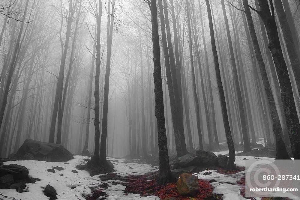 Beech trees forest in the fog, Corniglio Parma, Emilia Romagna, Italy