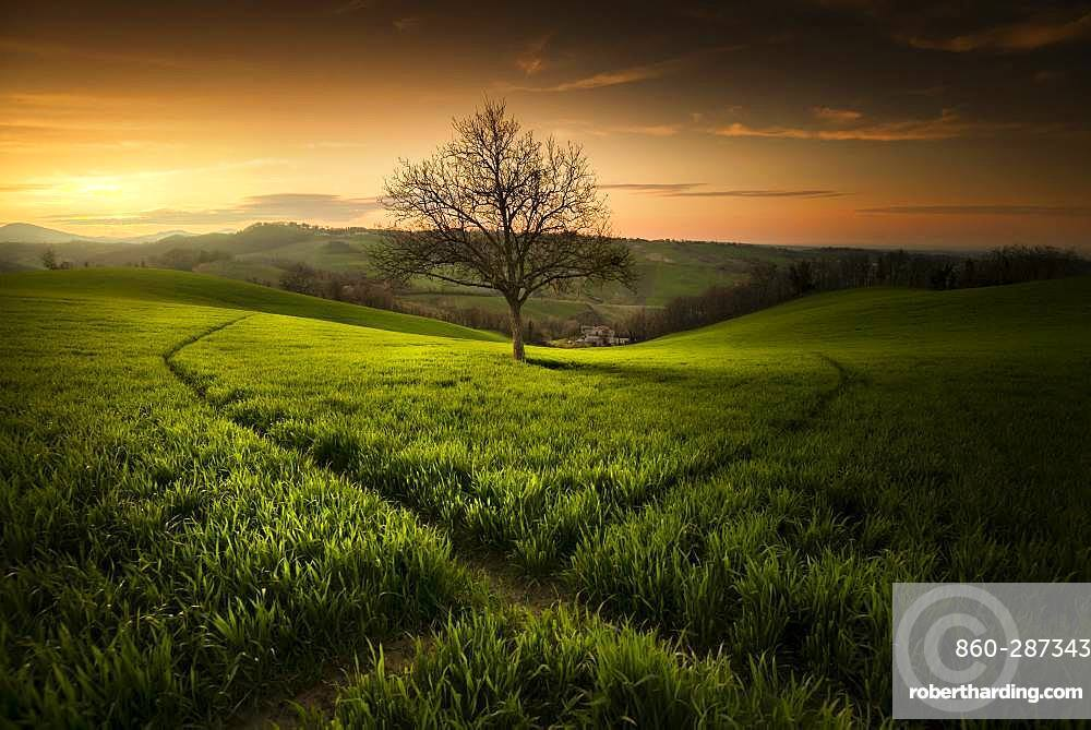 Walnut tree and paths made by the roes, Langhirano, Emilia-Romagna, italy