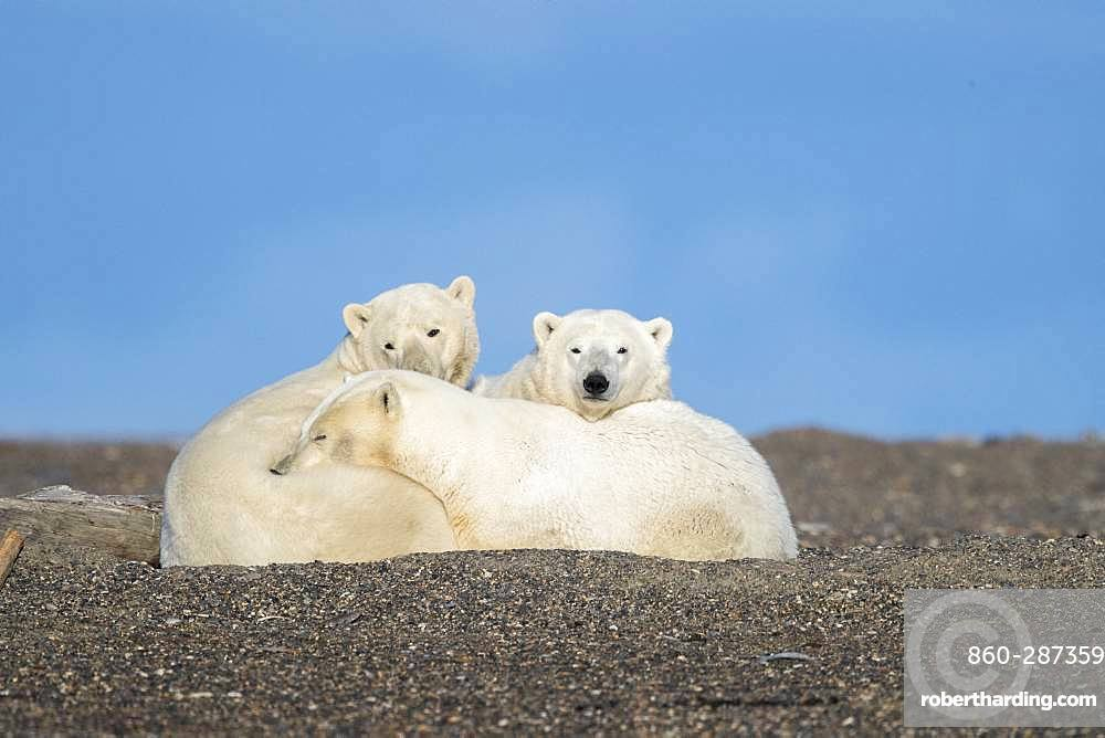 Polar Bear( Ursus maritimus ), along a barrier island outside Kaktovik, Every fall, polar bears (Ursus maritimus) gather near Kaktovik on the northern edge of ANWR, Barter Island, Arctic National Wildlife Refuge, Alaska
