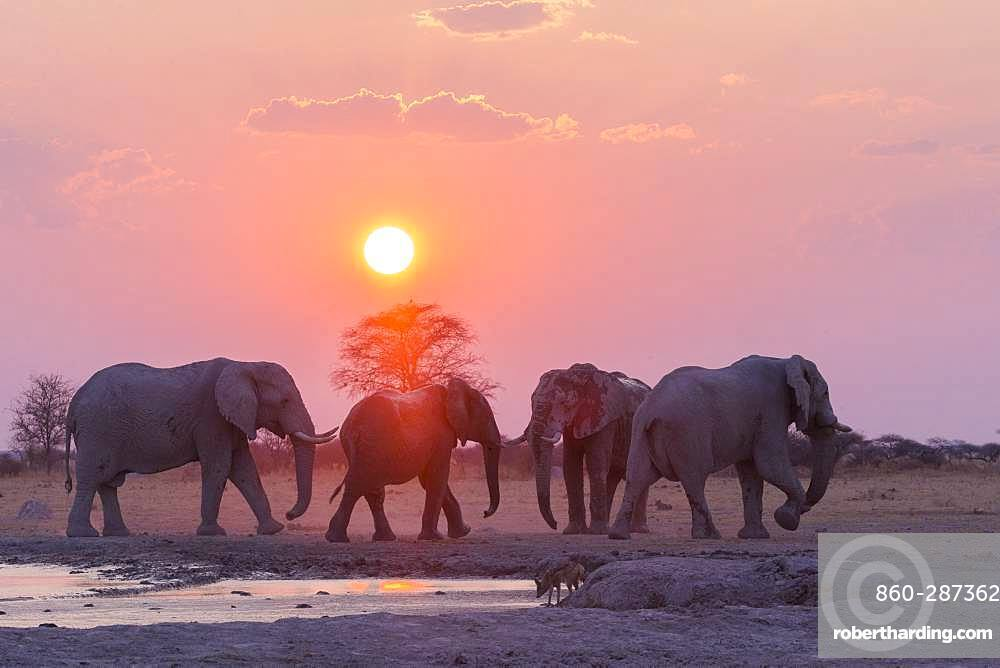 African bush elephant or African savanna elephant (Loxodonta africana), around a water hole, Nxai pan national park, Bostwana