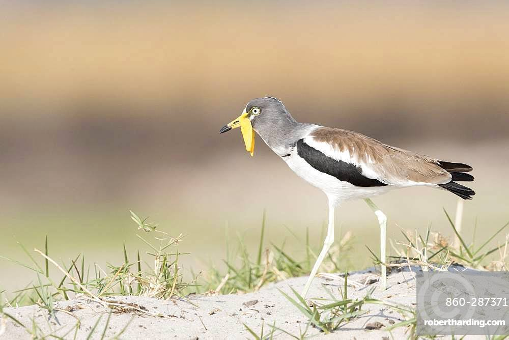 African wattled lapwing (Vanellus senegallus), also known as the Senegal wattled plover or simply wattled lapwing, Chobe river, Chobe National Park, Bostwana