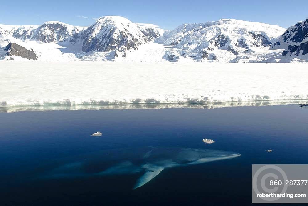 Antarctic Minke Whale (Balaenoptera bonaerensis), Wilhelmina Bay, Antarctic Peninsula