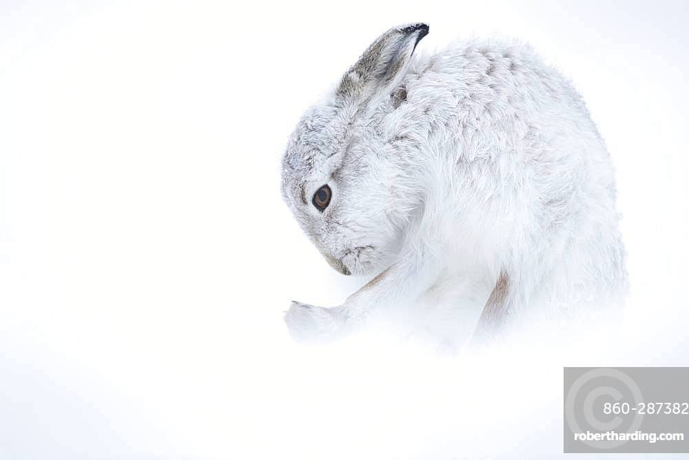 Mountain Hare (Lepus timidus). A Mountain Hare grooms in the Cairngorms National Park, UK.