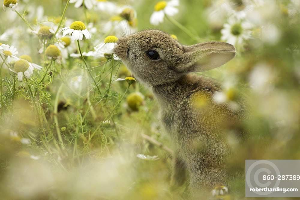 European Rabbit (Oryctolagus cuniculus). A young Rabbit reaches for a nearby Daisy off the coast of Wales, UK.