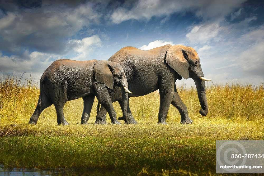 Always drive me in my journey. Two elephants walking in the savannah Chobe National Park Botswana