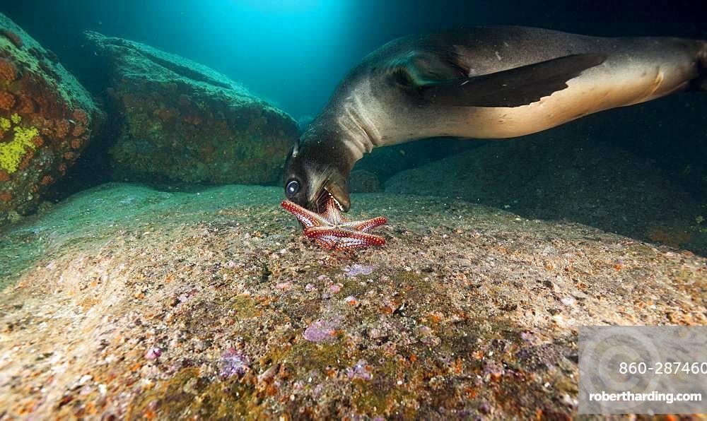 California sea lion (Zalophus californianus) playing with a starfish (Pentaceraster cumingi), in the Sea of Cortez, Mexico.