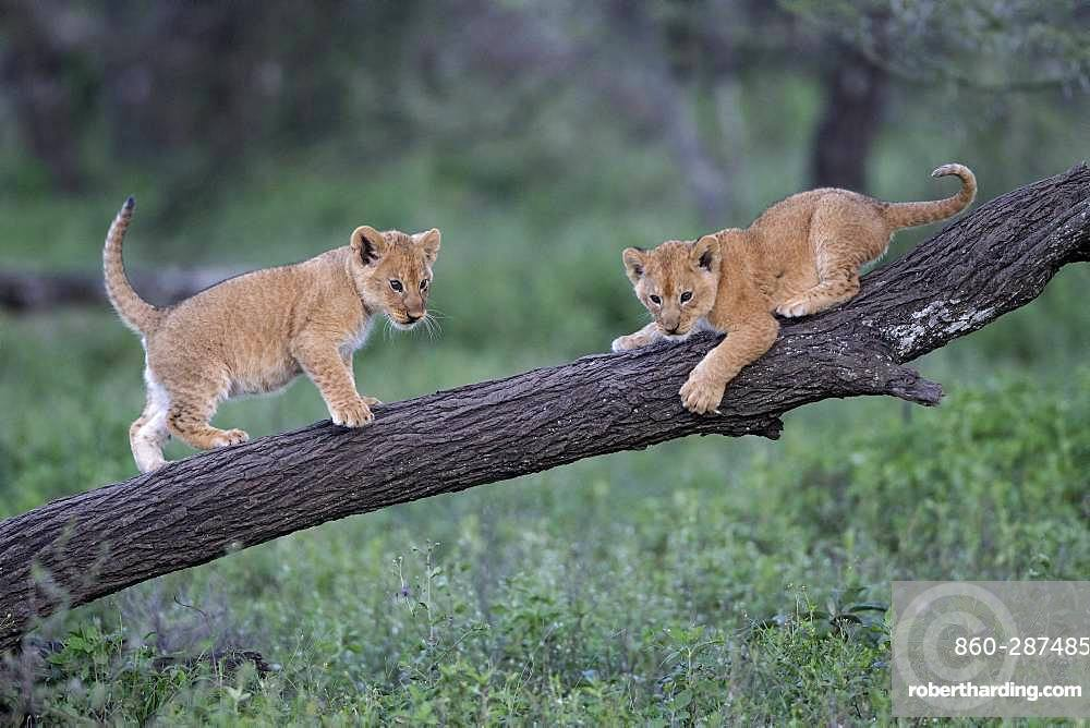Lion (Panthera leo) cubs, Ngorongoro Conservation Area, Serengeti, Tanzania