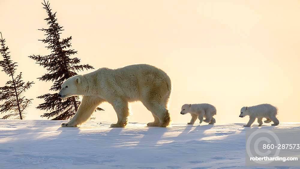 Polar bear (Ursus maritimus), (3 months twin cubs following their mum up on a ridge. Churchill, MB, Canada