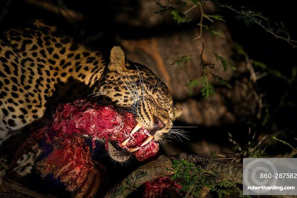 Leopard (Panthera pardus) eating his prey on a tree by night, Sabi Sand, South Africa