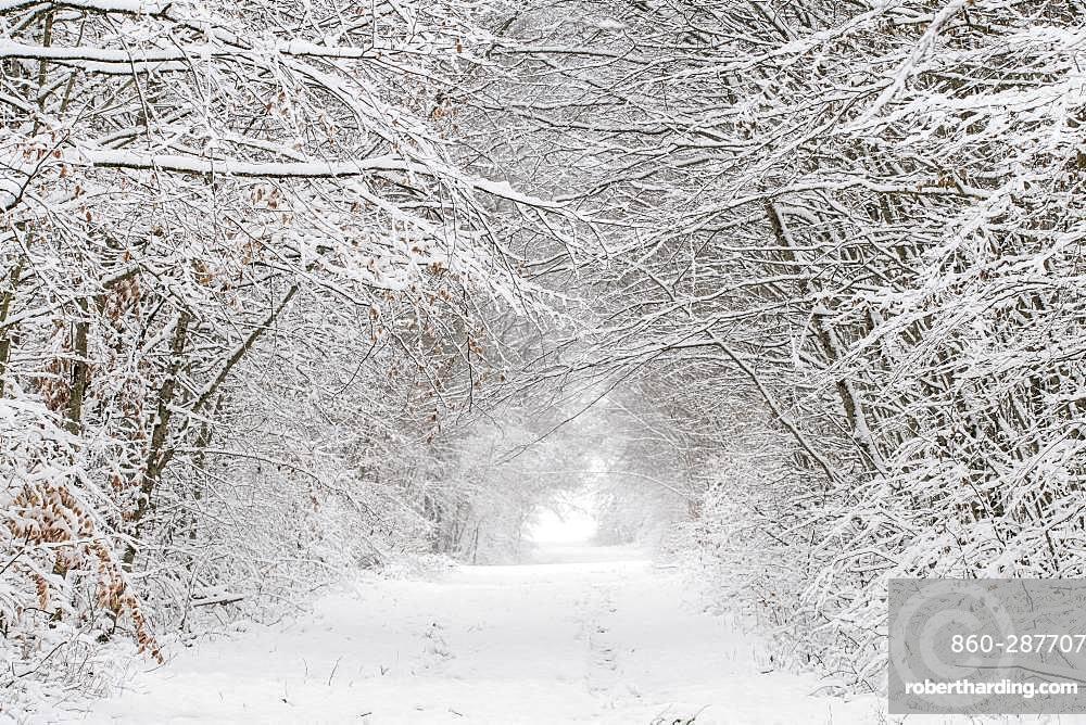 Undergrowth in winter, Vosges, France