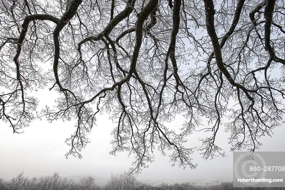 Oak branches under the frost, Vosges, France