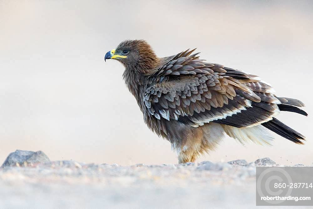Steppe Eagle (Aquila nipalensis), Juvenile perched on the ground, Salalah, Dhofar, Oman