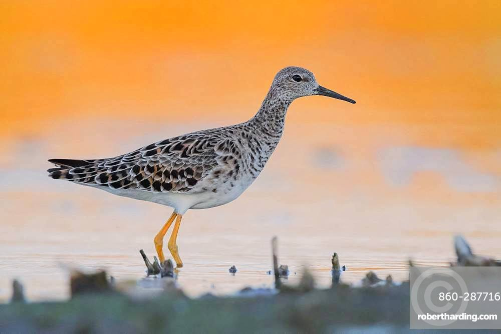 Ruff (Philomachus pugnax), adult standing in the water at sunset, Campania, Italy