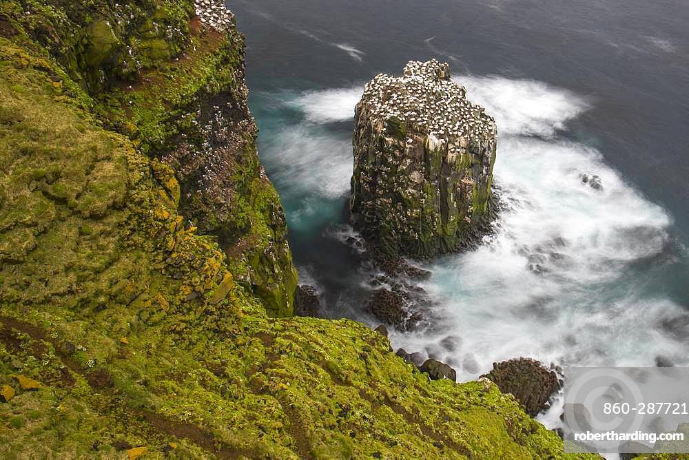 Northern Gannet (Morus bassanus), colony on Stóri Karl islet, Iceland