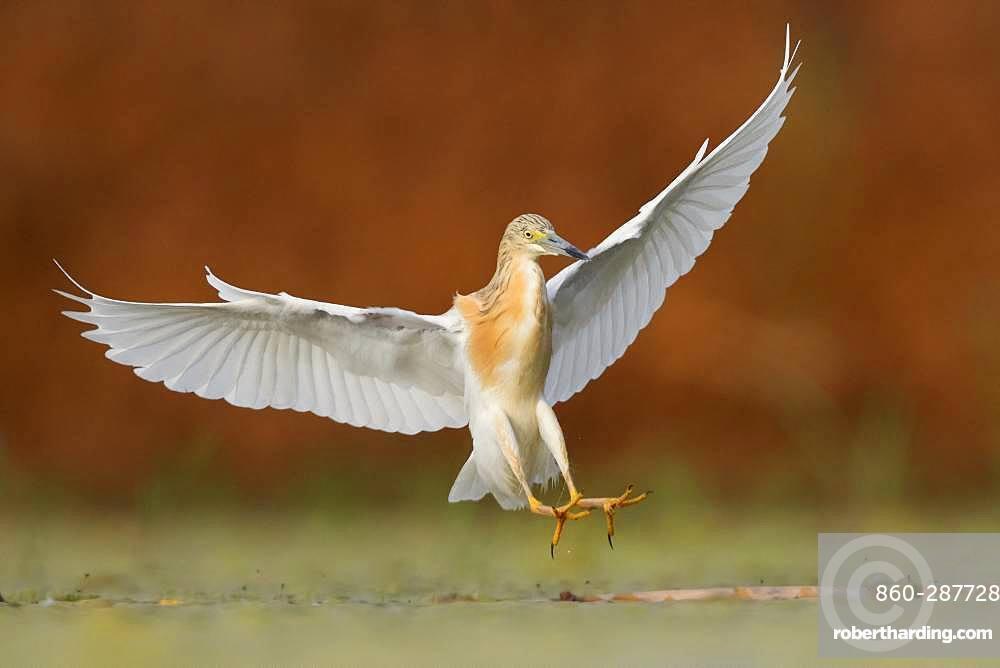Squacco Heron (Ardeola ralloides), adult landing, Campania, Italy
