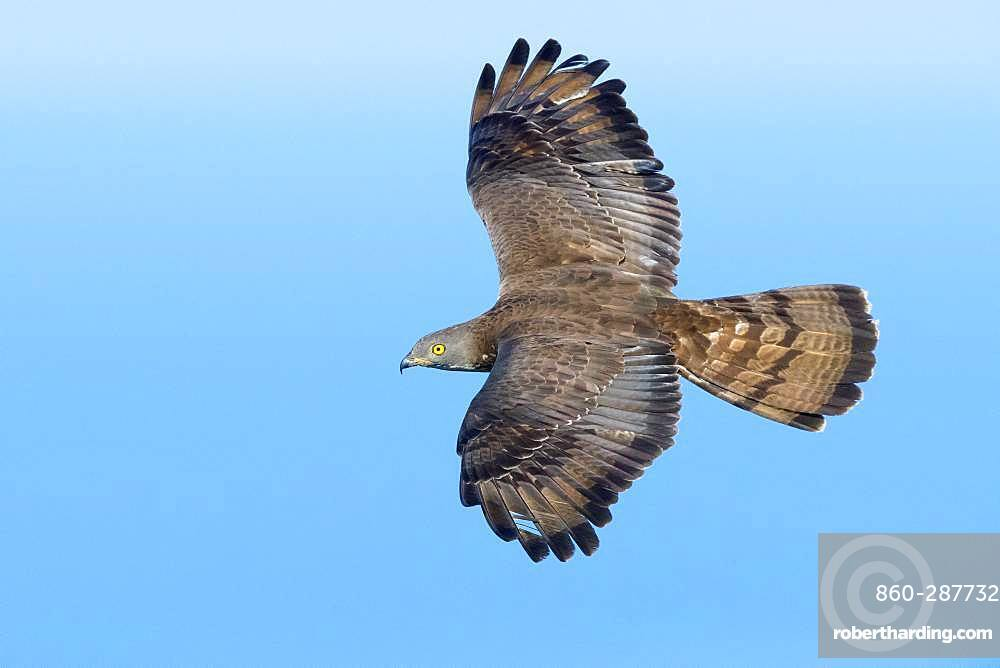 European Honey Buzzard (Pernis apivorus), adult male in flight, Campania, Italy