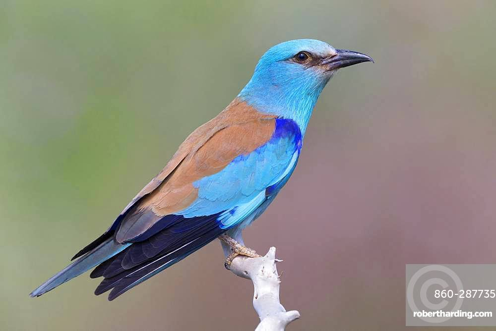 European Roller (Coracias garrulus), side view of an adult perched on a branch, Basilicata, Italy
