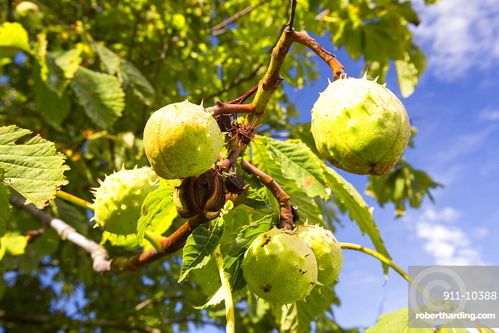 Horse Chestnuts on a Horse Chestnut tree, Vale of Evesham, UK.