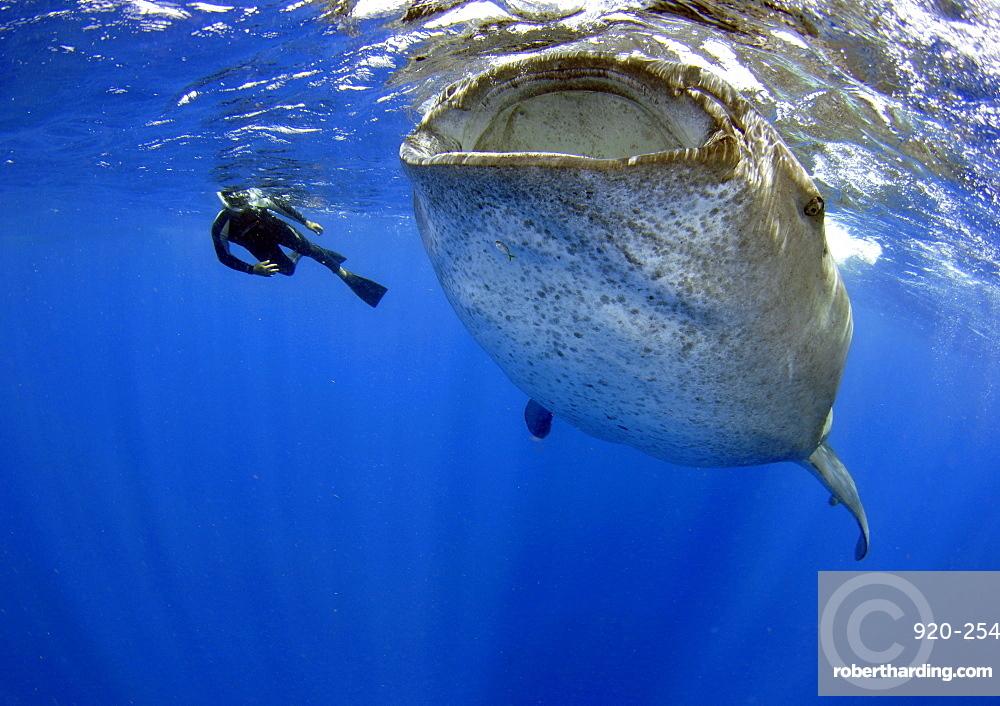 Whale shark (Rhincodon typus), Quintana-Roo, Mexico, Caribbean Sea, North America