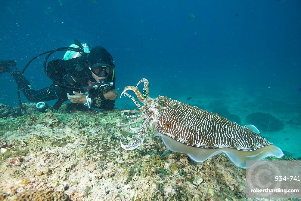 Large cuttle fish at the Aquarium, Dimaniyat Islands, Gulf of Oman, Oman, Middle East