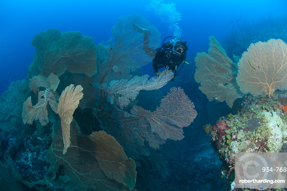 Gogonian diving on Atam Reef, Nosy Be, Madagascar, Indian Ocean, Africa