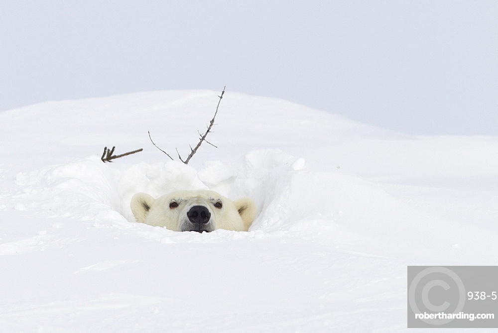 Polar bear (Ursus maritimus), Wapusk National Park, Churchill, Hudson Bay, Manitoba, Canada, North America