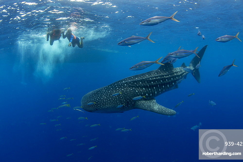 Whale shark (Rhincodon typus) with rainbow runner observed by a tourist and guide in Honda Bay, Palawan, The Philippines, Southeast Asia, Asia
