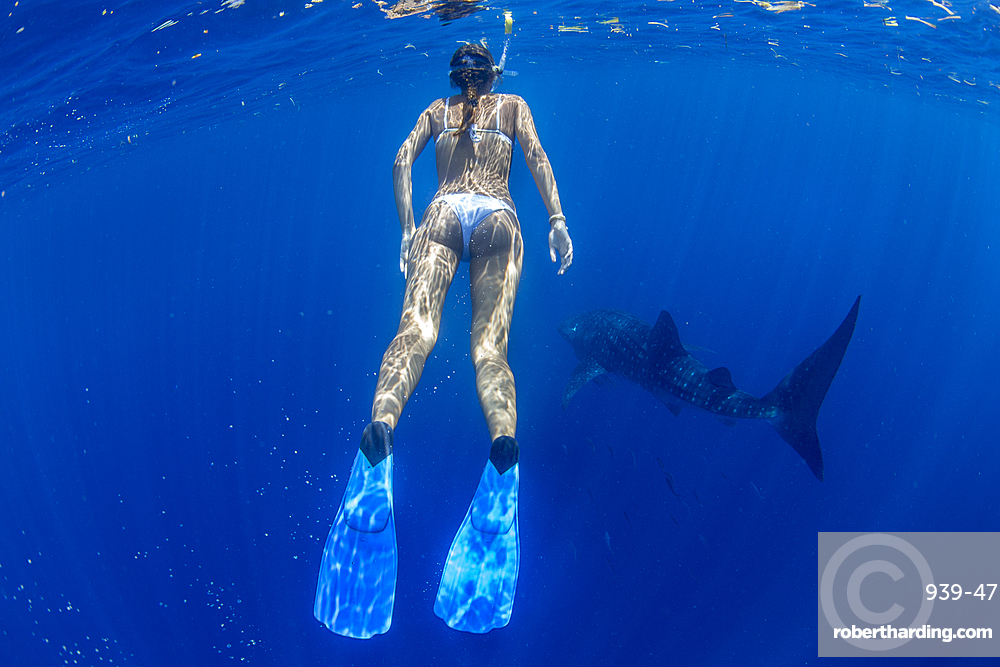 Tourist snorkelling with a whale shark (Rhincodon typus) in Honda Bay, Palawan, The Philippines, Southeast Asia, Asia