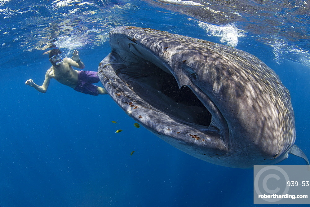 Snorkeller with a juvenile whale shark (Rhincodon typus) feeding on the suface in Honda Bay, Palawan, The Philippines, Southeast Asia, Asia