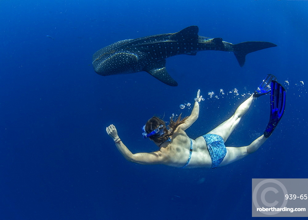 Snorkeller swimming with a juvenile whale shark (Rhincodon typus) in Honda Bay, Palawan, The Philippines, Southeast Asia, Asia