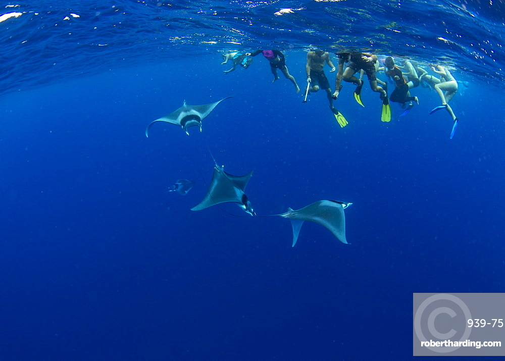 Snorkellers observing spinetail devil rays (Mobula mobular) engaged in sexual courtship in Honda Bay, Palawan, The Philippines, Southeast Asia, Asia