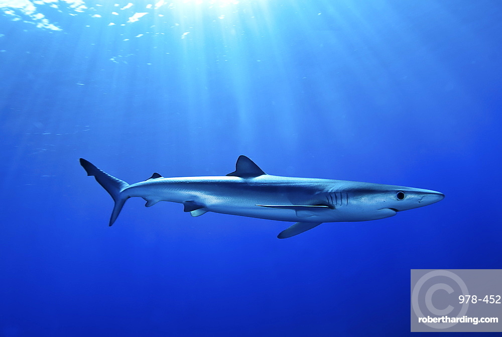 Blue shark (Prionace glauca) in the Azores, Portugal, Atlantic, Europe