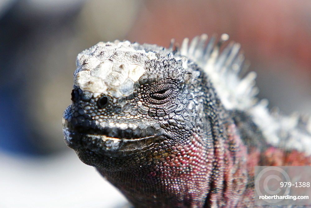 The endemic marine iguana (Amblyrhynchus cristatus) head detail in the Galapagos Island Group, Ecuador. This is the only marine iguana in the world, with many of the main islands having it's own subspecies. Pacific Ocean.