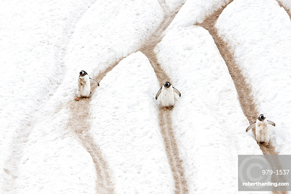 Adult gentoo penguins (Pygoscelis papua) going and returning from sea to feed along well-worn