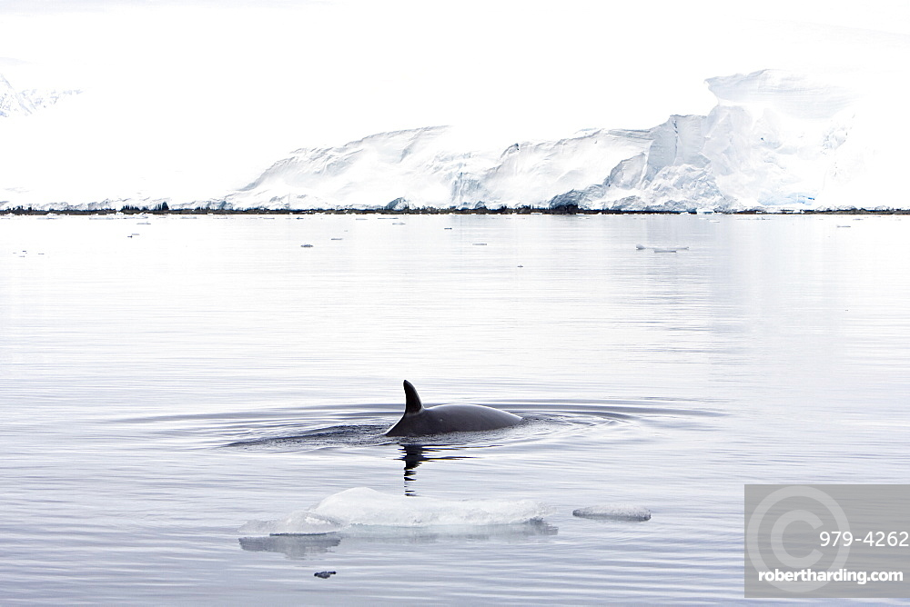 Adult Antarctic Minke Whale (Balaenoptera bonaerensis) surfacing in ice near Larrouy Island on the western side of the Antarctic Peninsula. This whale is also known as the Southern Minke Whale. The minke whale is the second smallest of the baleen whales - only the pygmy right whale is smaller. Upon reaching sexual maturity (6-8 years of age), male and female minke whales measure an average of 6.9 and 7.4 metres (22'8