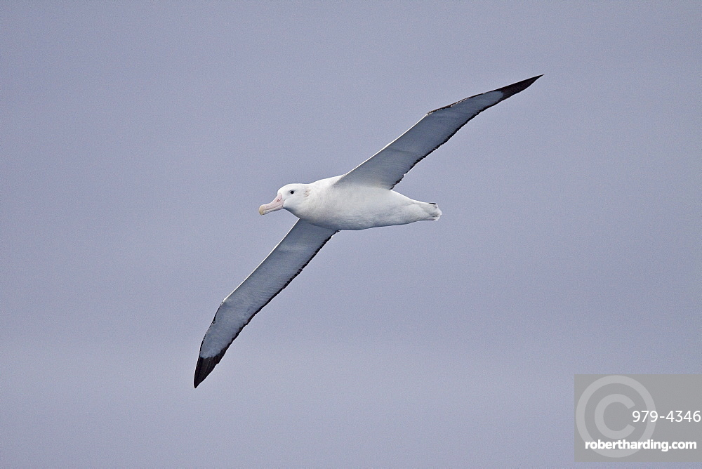 Wandering Albatross Diomedea Exulans On Stock Photo