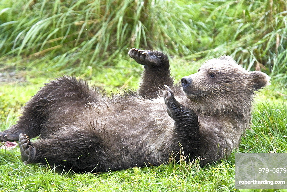 Mother brown bear sow (Ursus arctos) with two cubs-of-year (COY) at the Brooks River in Katmai National Park near Bristol Bay, Alaska, USA. Pacific Ocean. The normal range of physical dimensions for a brown bear is a head-and-body length of 1.7 to 2.8 m (5.6 to 9.2 feet) and a shoulder height 90 to 150 cm (35 to 60 inches). Males are 38-50% larger than females. It is not unusual for large male Kodiak Bears to stand over 3 m (10 feet) while on their hind legs and to weigh about 680 kg (1,500 lb). The largest wild Kodiak bear on record weighed over 1,100 kilograms (2,500 pounds). There are about 200,000 brown bears in the world, with 32,500 in the United States. 95% of the brown bear population in the United States live in Alaska.