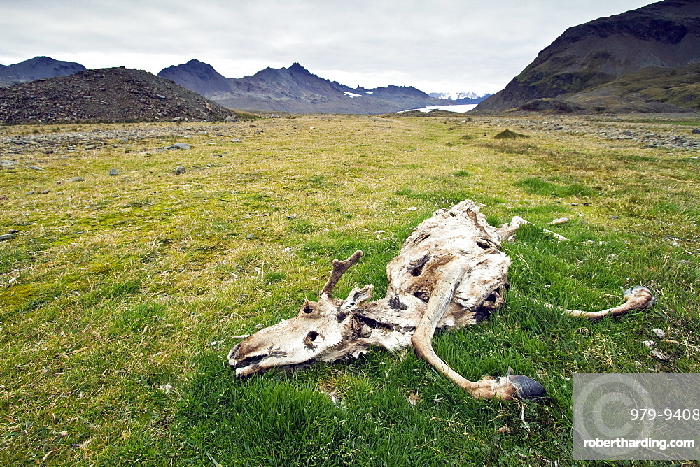 The carcass of a reindeer (Rangifer tarandus) in Fortuna Bay, South Georgia. MORE INFO A few reindeer from Norway were introduced to the South Atlantic island of South Georgia in the beginning of the 20th century by Norwegian whaler Carl Anton Larsen and his brother. Today, there are two distinct herds still thriving there, permanently separated by glaciers. Their total numbers are no more than a few thousand. The government of South Georgia is wrestling with the controversy of whether or not to eradicate this introduced species, or to allow it to continue to live on South Georgia.
