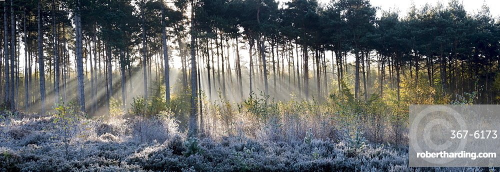 Forest sunbeams panorama, Surrey, England, United Kingdom, Europe
