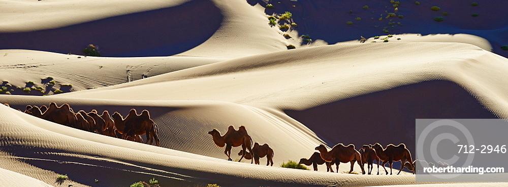 Bactrian camels, Badain Jaran Desert, Gobi Desert, Inner Mongolia, China, Asia