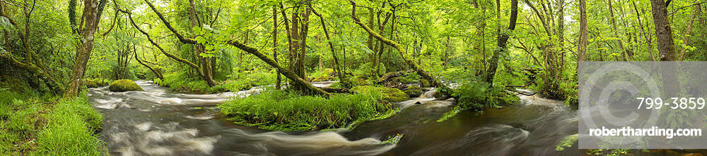 River Teign in full spate in spring, Dartmoor, Devon, England, United Kingdom, Europe