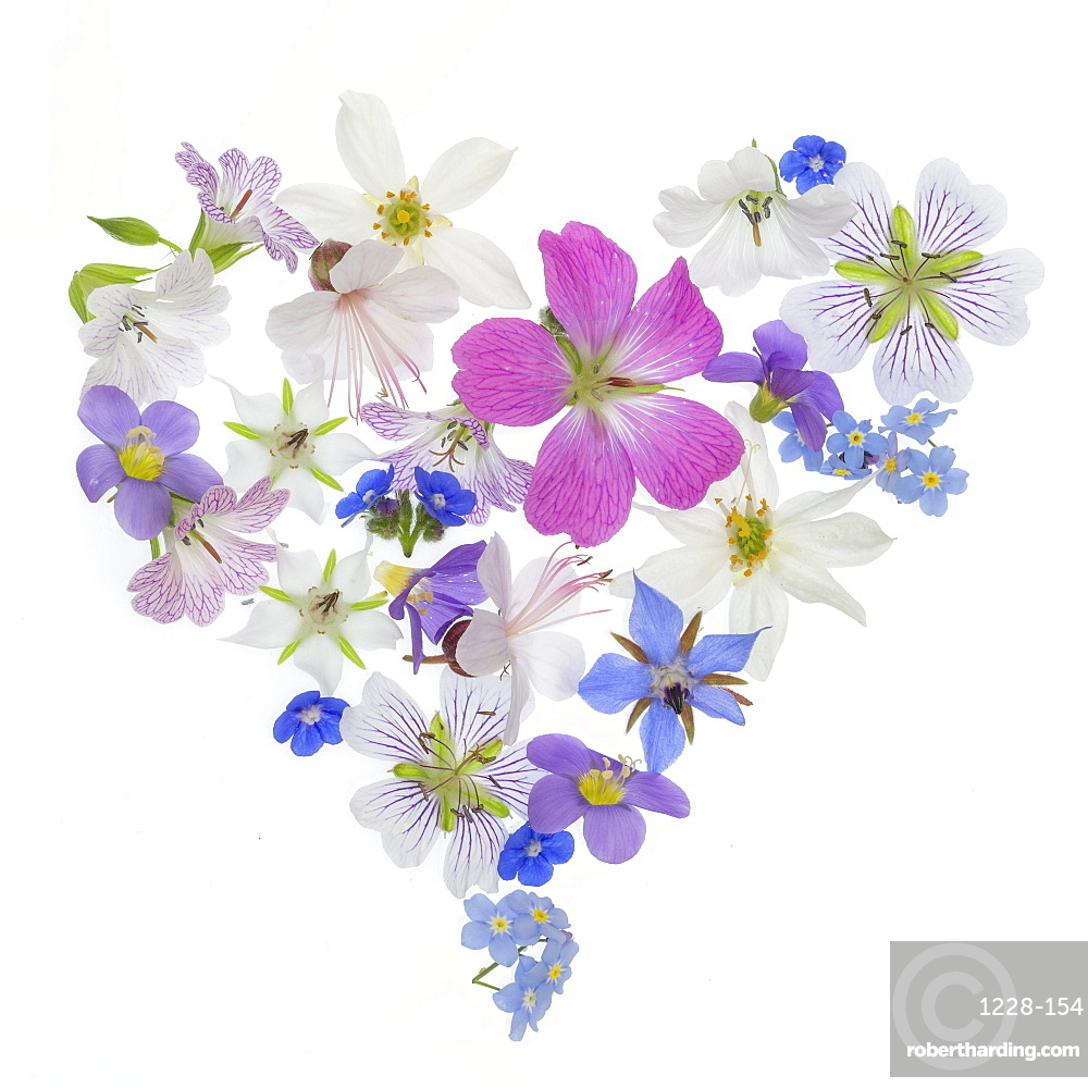 Spring flowers, geraniums, borrage, herb, blue, white, pink arranged in a heart shape on white background