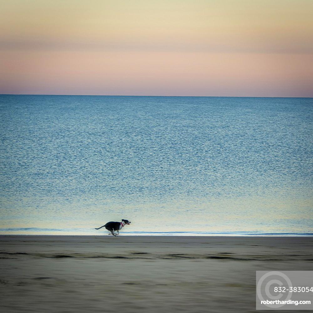 Dog on beach at sunrise, Chatelaillon-Plage near La Rochelle, Charente-Maritime department, Nouvelle-Aquitaine, France, Europe